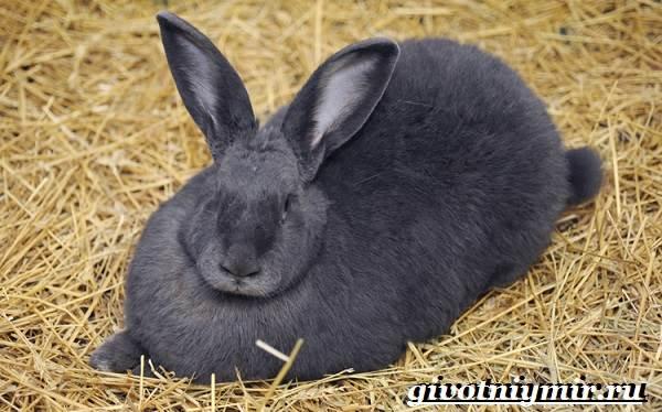 Кролик-породы-венский-голубой-Описание-уход-и-питание-кролика-венский-голубой-6