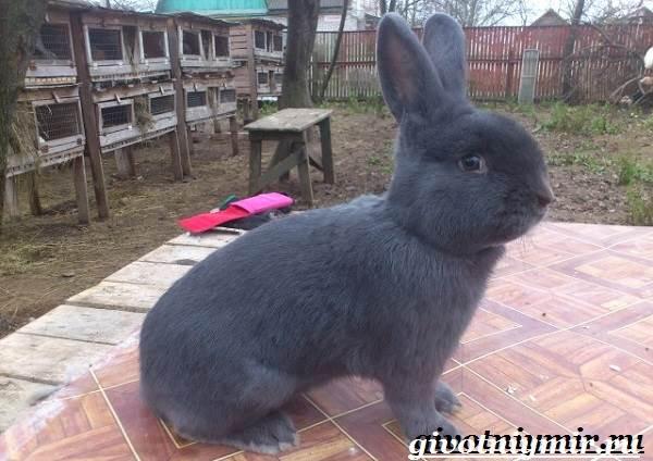 Кролик-породы-венский-голубой-Описание-уход-и-питание-кролика-венский-голубой-7
