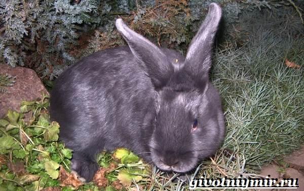 Кролик-породы-венский-голубой-Описание-уход-и-питание-кролика-венский-голубой-8