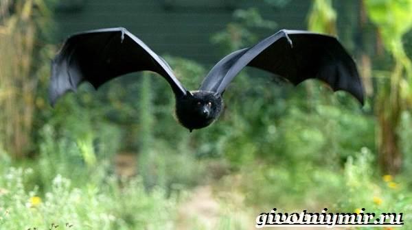 Крылан-животное-Образ-жизни-и-среда-обитания-крылана-2