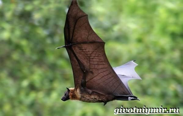 Крылан-животное-Образ-жизни-и-среда-обитания-крылана-3