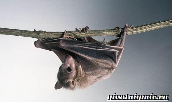 Крылан-животное-Образ-жизни-и-среда-обитания-крылана-5
