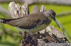 Кулик птица. Образ жизни и среда обитания птицы кулик