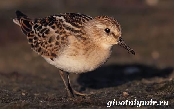 Кулик-птица-Образ-жизни-и-среда-обитания-птицы-кулик-5