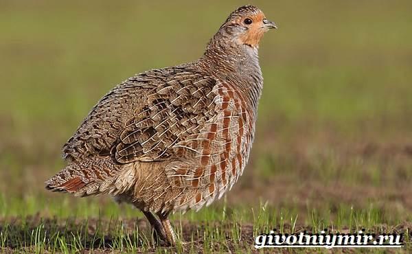 Куропатка-птица-Образ-жизни-и-среда-обитания-куропатки-1