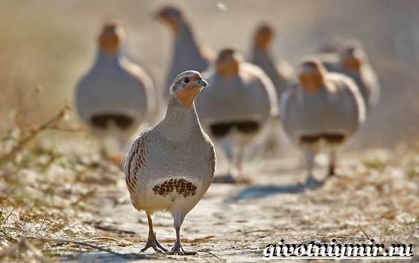 Куропатка-птица-Образ-жизни-и-среда-обитания-куропатки-12