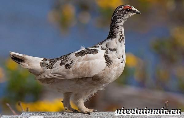 Куропатка-птица-Образ-жизни-и-среда-обитания-куропатки-13
