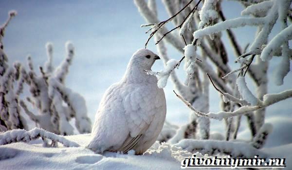 Куропатка-птица-Образ-жизни-и-среда-обитания-куропатки-4