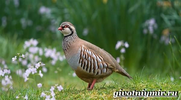 Куропатка-птица-Образ-жизни-и-среда-обитания-куропатки-7