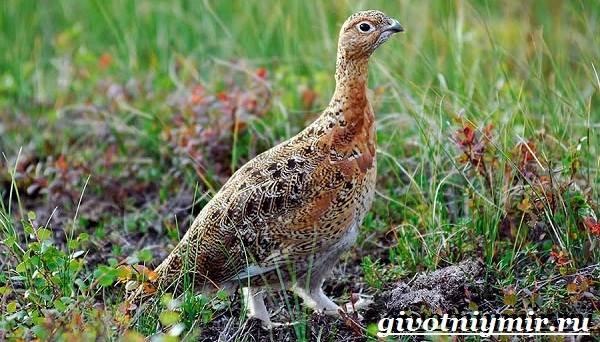 Куропатка-птица-Образ-жизни-и-среда-обитания-куропатки-8