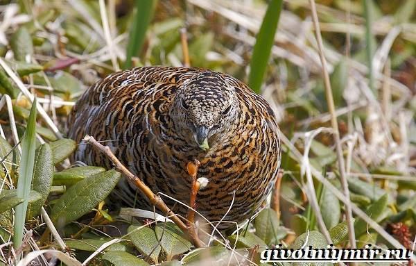 Куропатка-птица-Образ-жизни-и-среда-обитания-куропатки-9