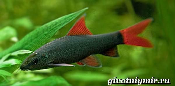 Лабео-рыба-Описание-особенности-содержание-и-цена-рыбы-лабео-1