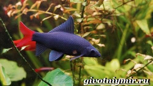 Лабео-рыба-Описание-особенности-содержание-и-цена-рыбы-лабео-10