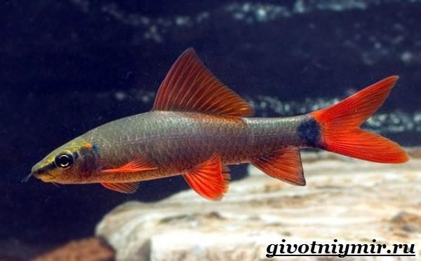 Лабео-рыба-Описание-особенности-содержание-и-цена-рыбы-лабео-3