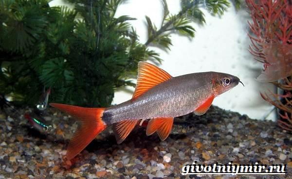 Лабео-рыба-Описание-особенности-содержание-и-цена-рыбы-лабео-7