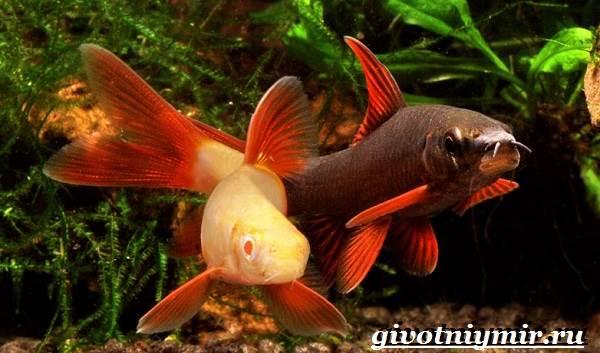 Лабео-рыба-Описание-особенности-содержание-и-цена-рыбы-лабео-8