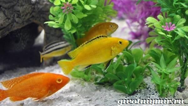 Лабидохромис-рыба-Описание-особенности-содержание-и-цена-рыбы-лабидохромис-1
