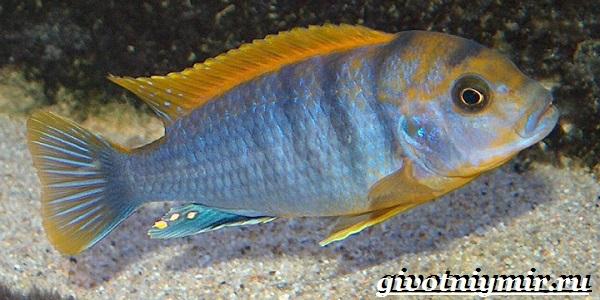 Лабидохромис-рыба-Описание-особенности-содержание-и-цена-рыбы-лабидохромис-11