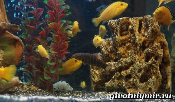Лабидохромис-рыба-Описание-особенности-содержание-и-цена-рыбы-лабидохромис-2
