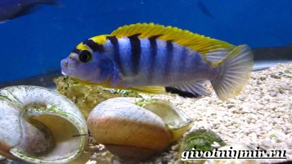 Лабидохромис-рыба-Описание-особенности-содержание-и-цена-рыбы-лабидохромис-4
