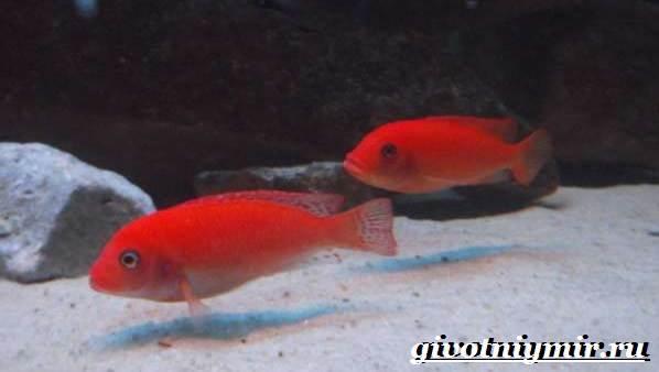 Лабидохромис-рыба-Описание-особенности-содержание-и-цена-рыбы-лабидохромис-7