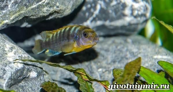 Лабидохромис-рыба-Описание-особенности-содержание-и-цена-рыбы-лабидохромис-9