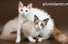 Лаперм кошка. Описание, особенности, уход и цена кошки лаперм
