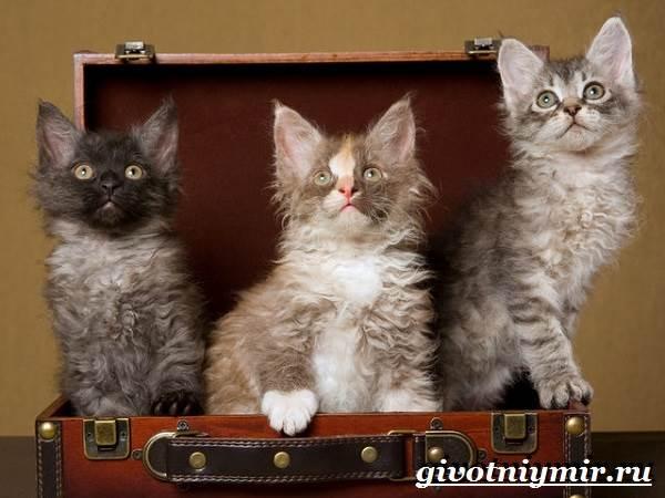 Лаперм-кошка-Описание-особенности-уход-и-цена-кошки-лаперм-2
