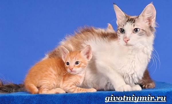 Лаперм-кошка-Описание-особенности-уход-и-цена-кошки-лаперм-7