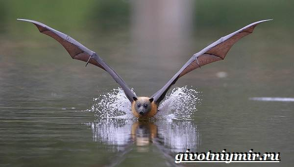 Летучая-собака-животное-Образ-жизни-и-среда-обитания-летучей-собаки-7
