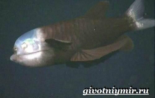 Макропинна-рыба-Образ-жизни-и-среда-обитания-макропинны-3