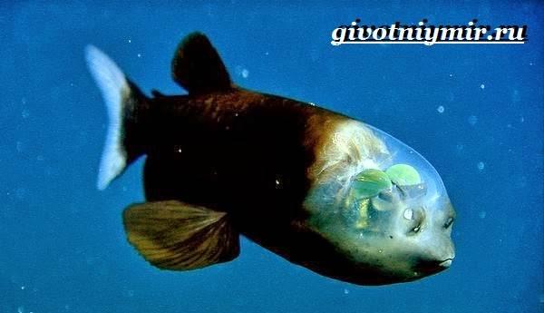 Макропинна-рыба-Образ-жизни-и-среда-обитания-макропинны-4