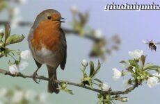 Малиновка птица. Образ жизни и среда обитания птицы малиновки
