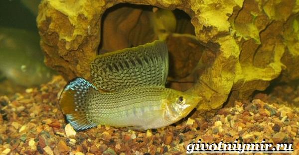 Моллинезия-рыба-Описание-особенности-содержание-и-цена-моллинезии-10