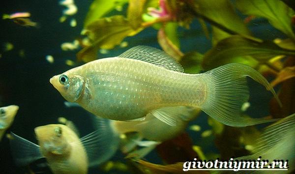 Моллинезия-рыба-Описание-особенности-содержание-и-цена-моллинезии-11