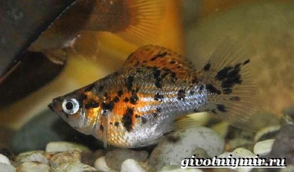 Моллинезия-рыба-Описание-особенности-содержание-и-цена-моллинезии-4