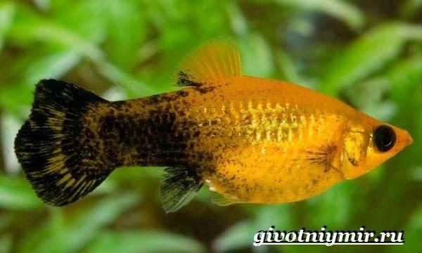 Моллинезия-рыба-Описание-особенности-содержание-и-цена-моллинезии-6
