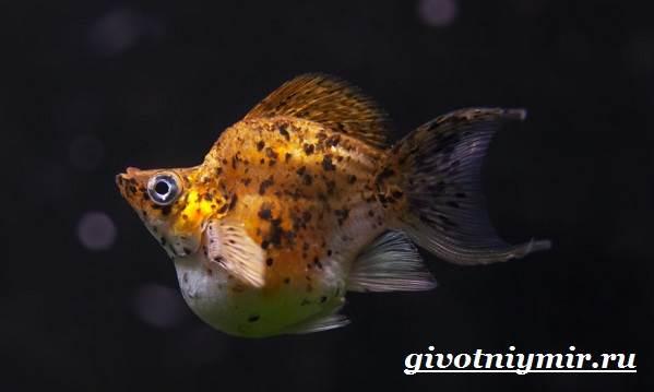 Моллинезия-рыба-Описание-особенности-содержание-и-цена-моллинезии-8