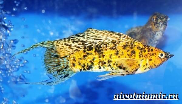 Моллинезия-рыба-Описание-особенности-содержание-и-цена-моллинезии-9