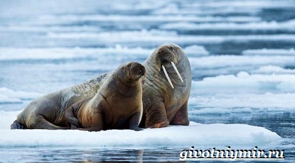 Морж-животное-Образ-жизни-и-среда-обитания-моржа-3