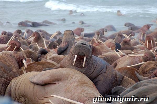 Морж-животное-Образ-жизни-и-среда-обитания-моржа-5