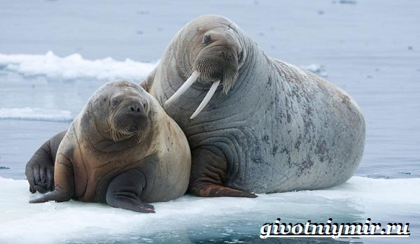 Морж-животное-Образ-жизни-и-среда-обитания-моржа-6