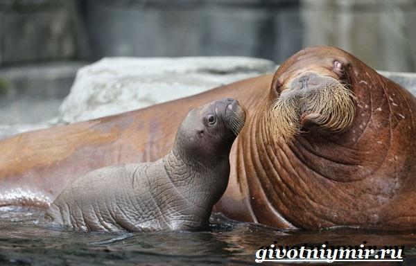 Морж-животное-Образ-жизни-и-среда-обитания-моржа-7
