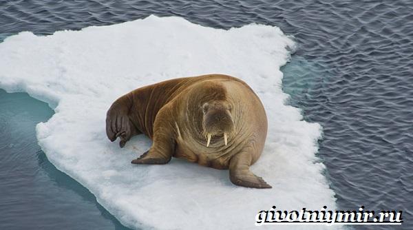 Морж-животное-Образ-жизни-и-среда-обитания-моржа-8