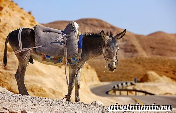 Мул-животное-Образ-жизни-и-среда-обитания-мула-1