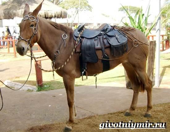 Мул-животное-Образ-жизни-и-среда-обитания-мула-3