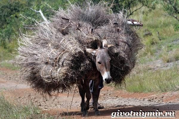 Мул-животное-Образ-жизни-и-среда-обитания-мула-4