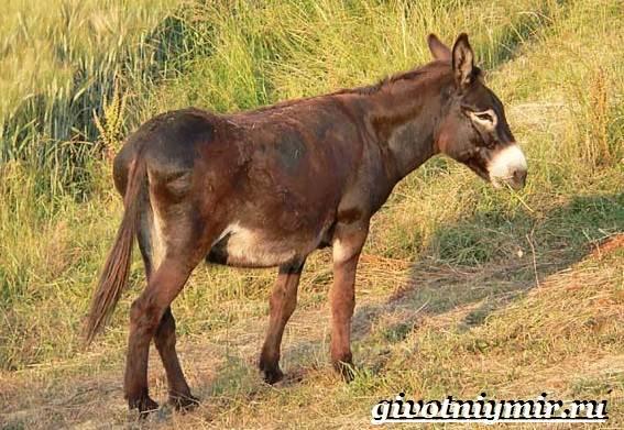 Мул-животное-Образ-жизни-и-среда-обитания-мула-7