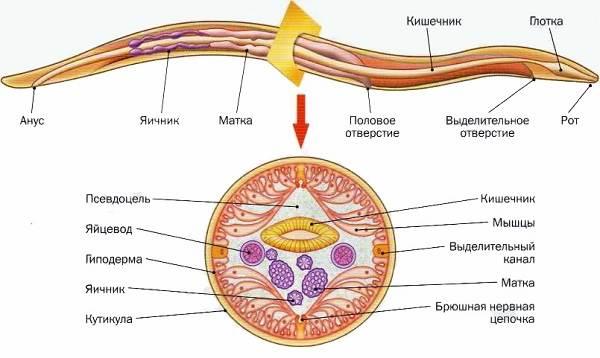 Нематоды-круглые-черви-Образ-жизни-и-среда-обитания-нематодов-3