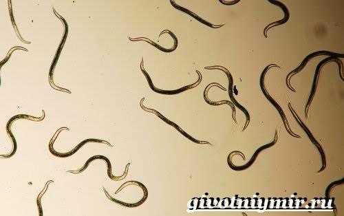 Нематоды-круглые-черви-Образ-жизни-и-среда-обитания-нематодов-4